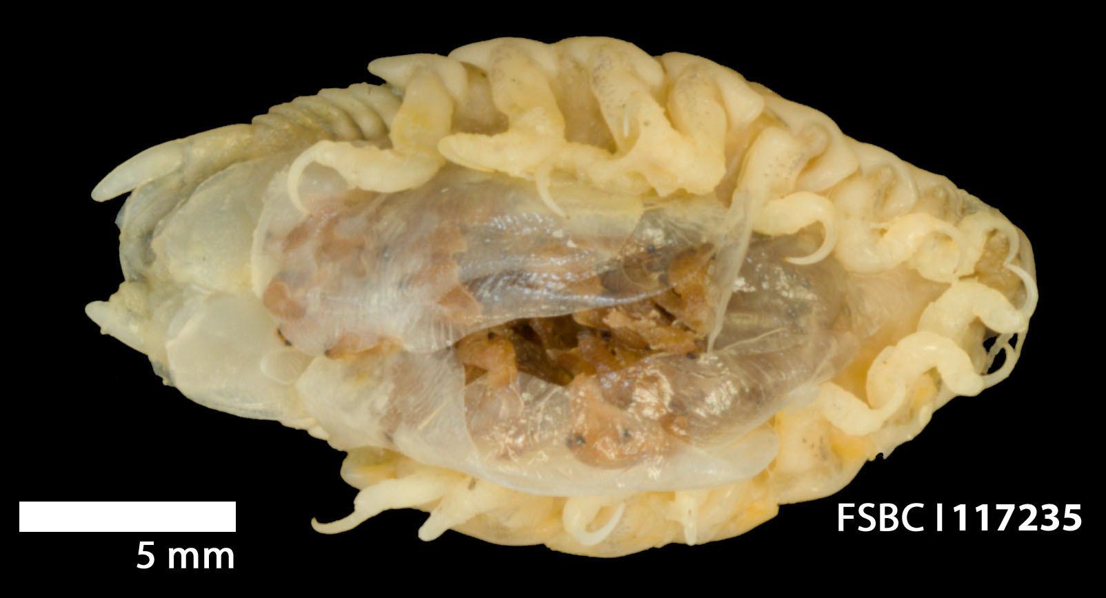 Image of <i>Livoneca redmanii</i> Leach 1818