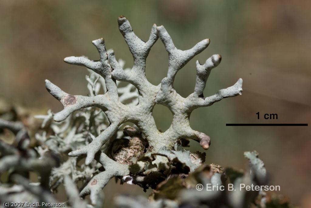 Image of Imshaug's tube lichen