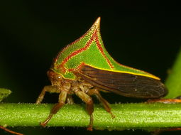 Image of thorn bug