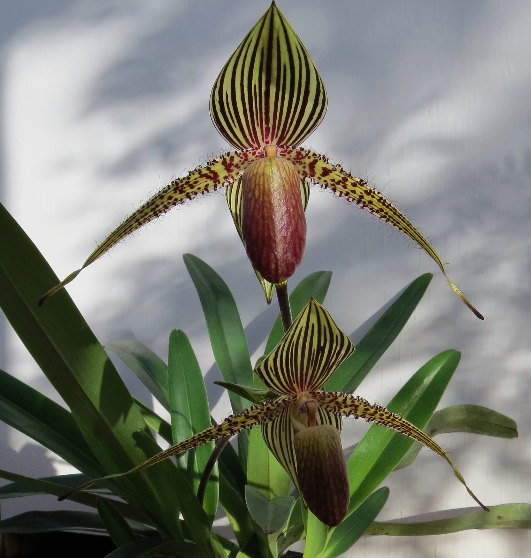 Image of Rothshild's slipper orchid