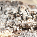 Image of spike lichen