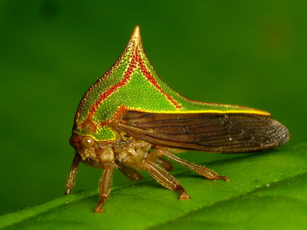Image of thorn bug