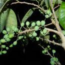 Image of Peraceae