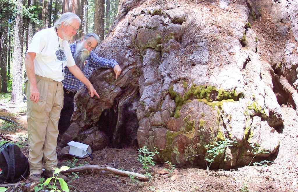 Image of Sequoia mycocalicium lichen