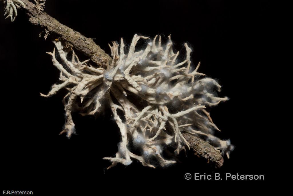 Image of <i>Niebla cephalota</i> (Tuck.) Rundel & Bowler
