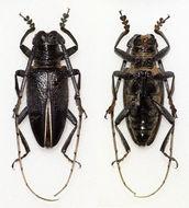 Image of <i>Demagogus larvatus</i> Thomson 1868