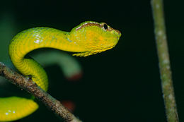 Image of Bornean Keeled Green Pit Viper