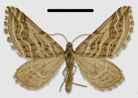 Image of <i>Lithostege amoenata</i> Christoph 1885