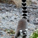 Image of Lemur