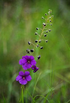 Image of purple mullein
