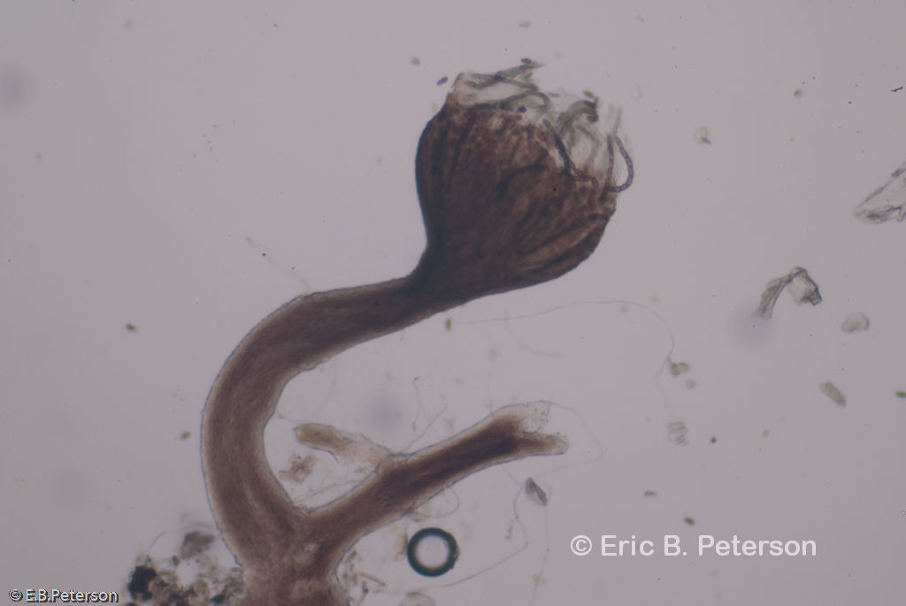 Image of <i>Phaeocalicium populneum</i> (Brond. ex Duby) A. F. W. Schmidt
