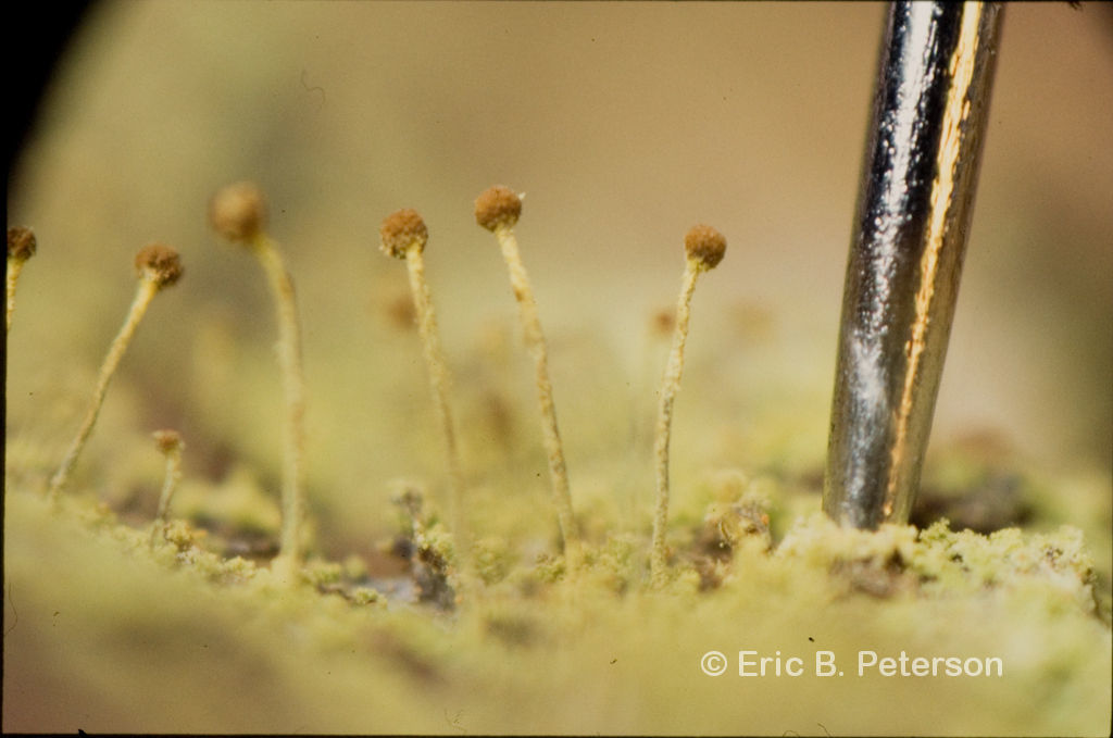 Image of needle lichen