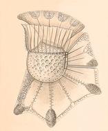 Image of <i>Ornithocercus magnificus</i>