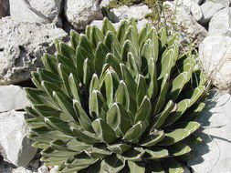 Image of Queen Agave