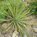 Image of <i>Agave striata</i> Zucc.