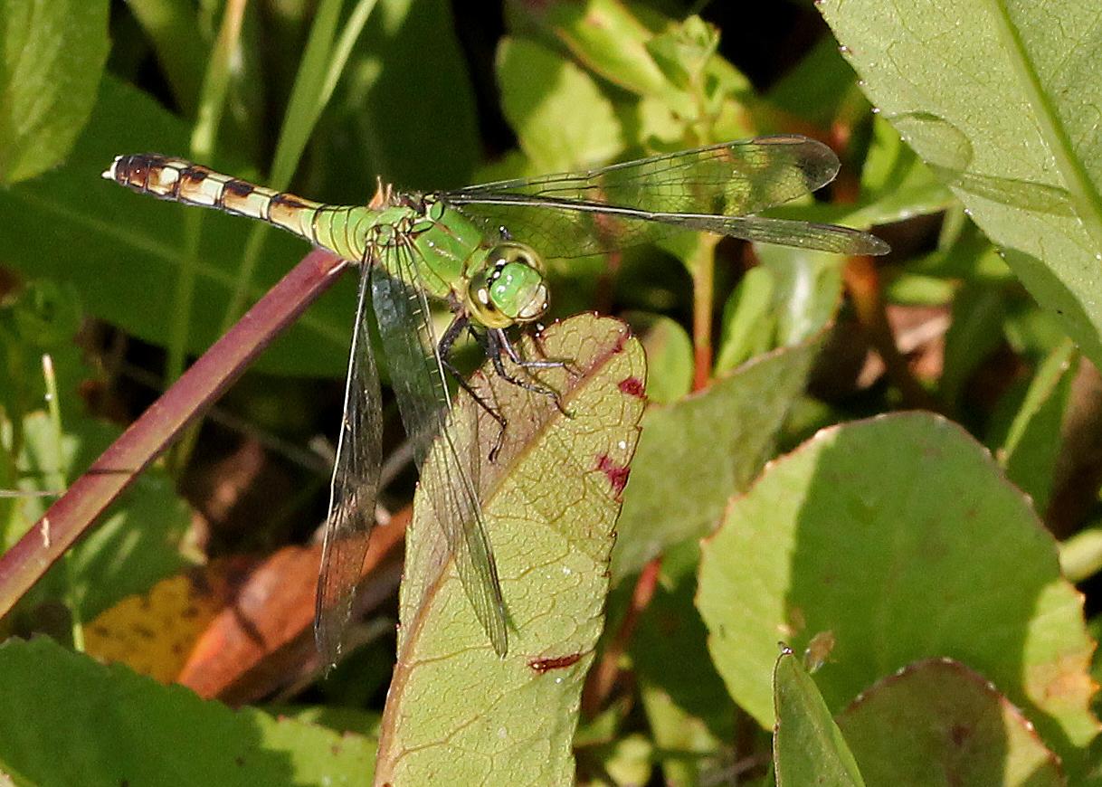 Image of Eastern Pondhawk
