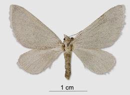 Image of <i>Lithostege palaestinensis</i> Amsel 1935