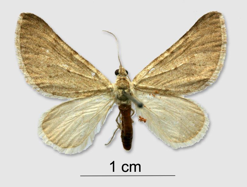 Image of <i>Lithostege luminosata</i> Christoph 1885