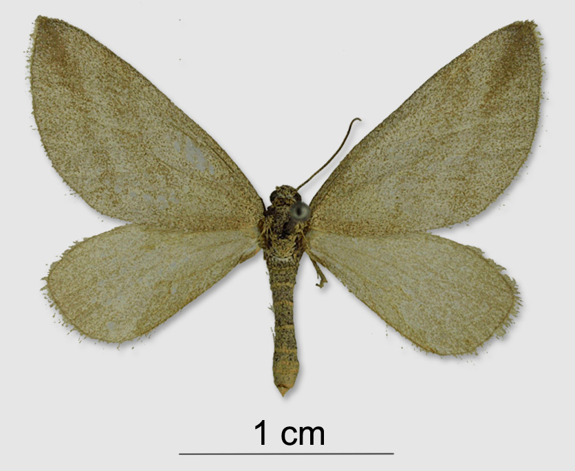 Image of <i>Lithostege griseata gigantae</i>