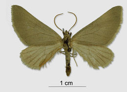 Image of <i>Lithostege flavicornata</i> Zeller 1847