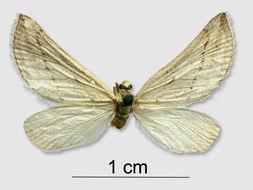 Image of <i>Lithostege turknemica</i>