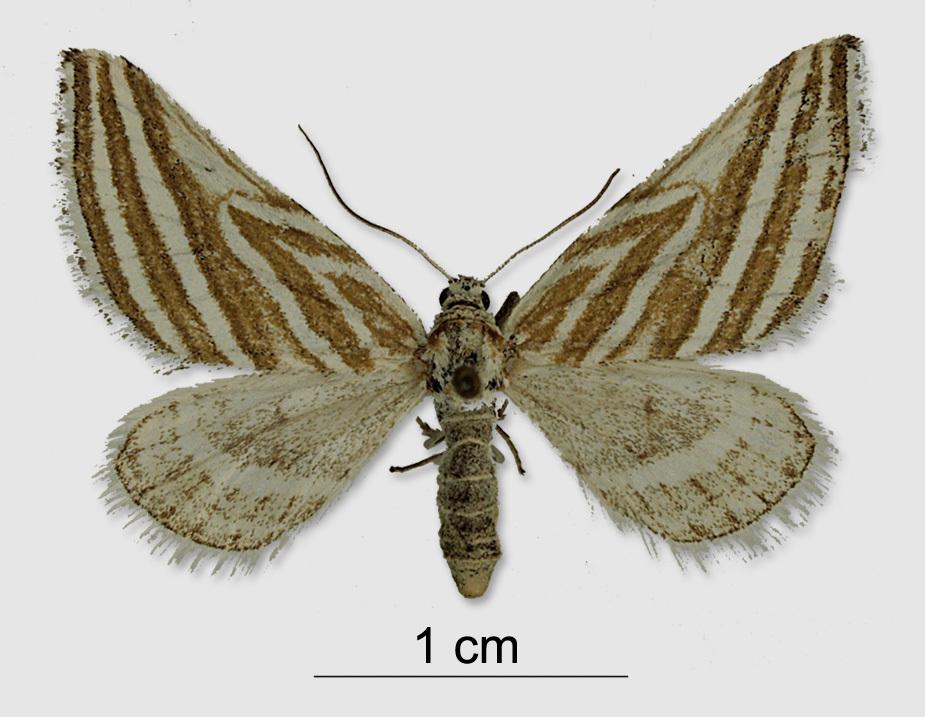 Image of <i>Lithostege bosporaria</i> Herrich-Schäffer 1848