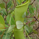 Image of Common Swamp Pitcher Plant