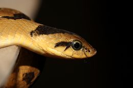 Image of Snouted Night Adder