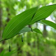 Image of <i>Polygonatum pubescens</i> (Willd.) Pursh