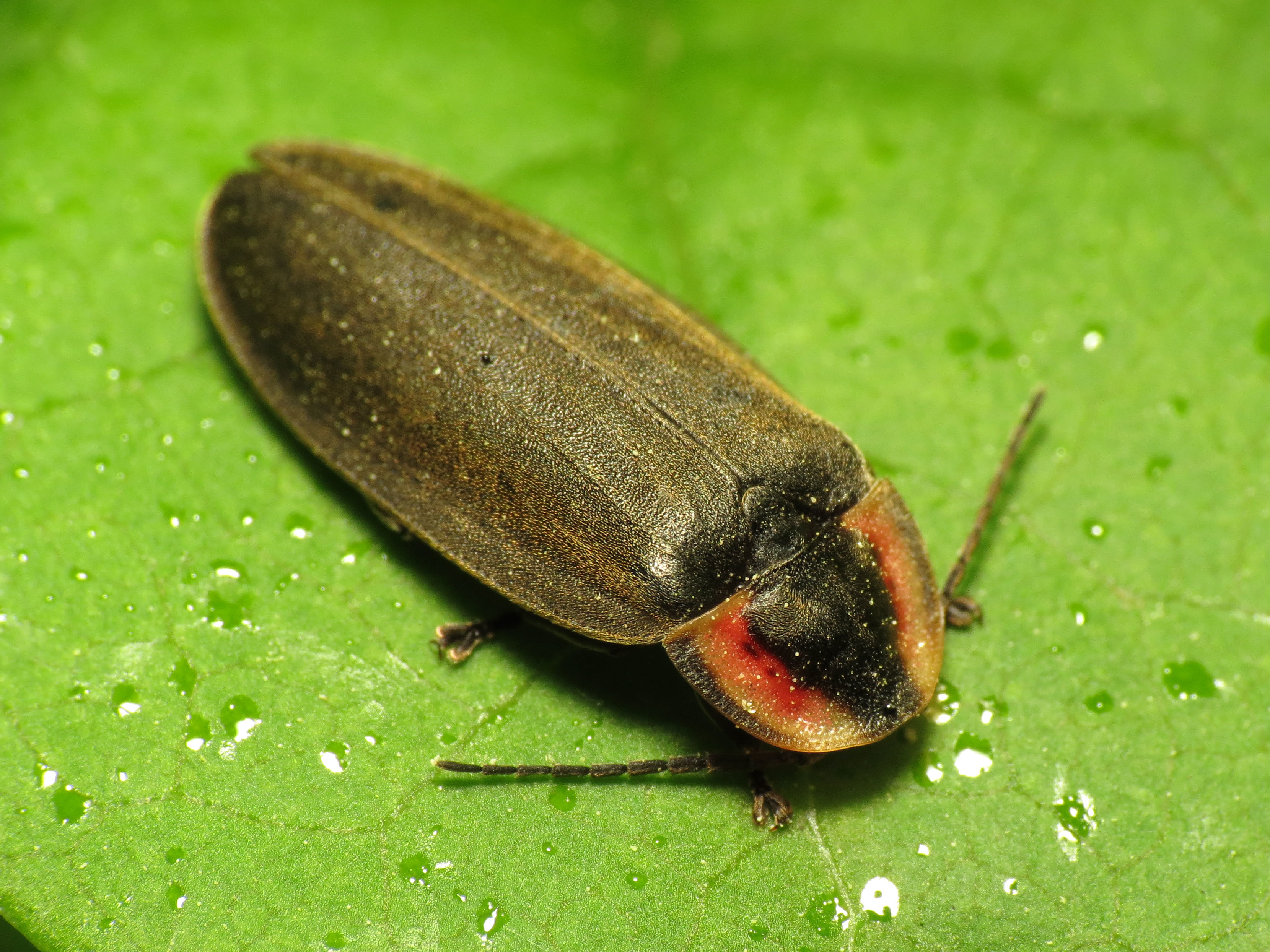 Image of Winter Firefly