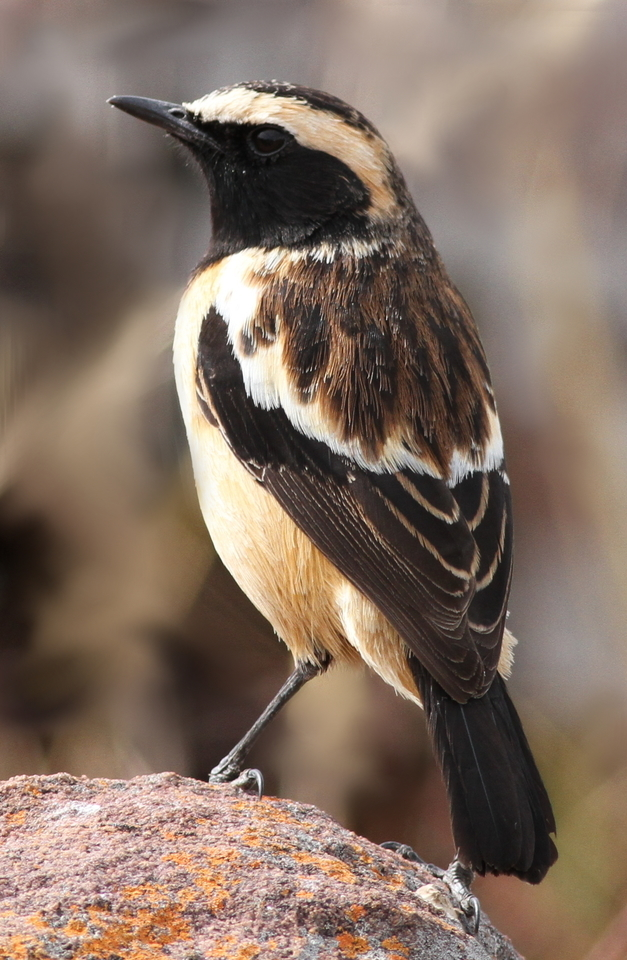 Image of Buff-streaked Chat