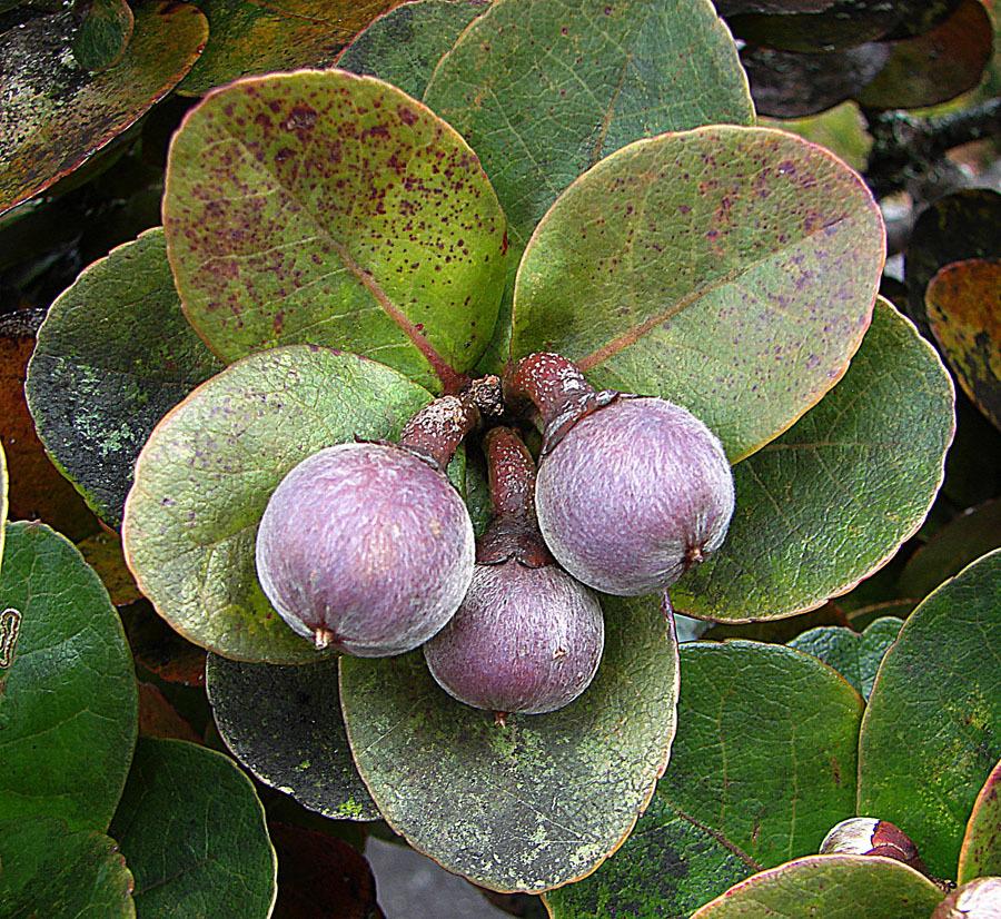 Image of <i>Schima brevifolia</i>