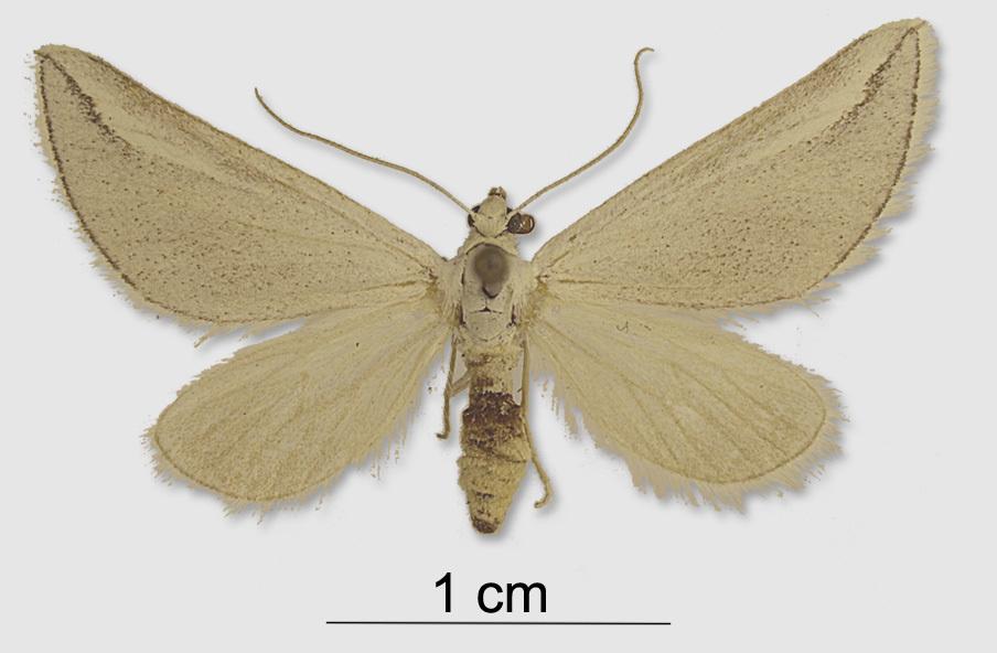 Image of <i>Lithostege fissurata</i> Mabille 1888