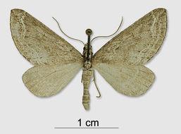 Image of <i>Lithostege dissocyma</i> Prout 1938