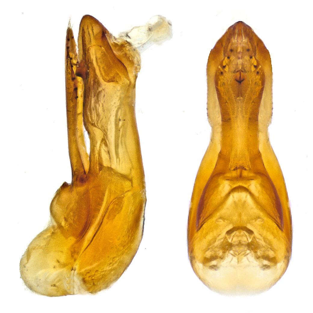 Image of <i>Quedius</i> (<i>Microsaurus</i>) <i>vexans</i> Eppelsheim 1881