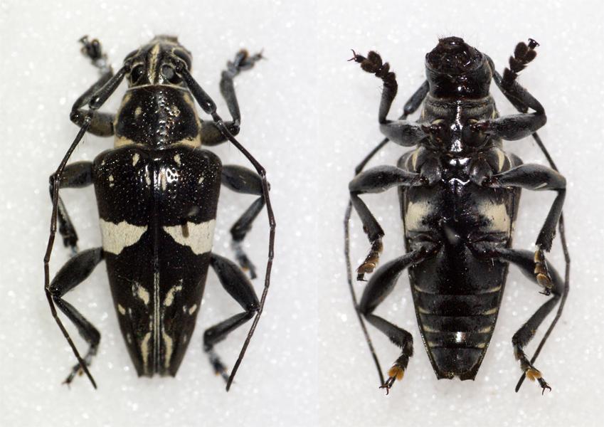 Image of <i>Trigonoptera spilonota</i> (Gestro 1876)