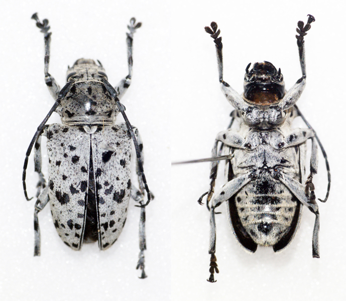 Image of <i>Frea maculicornis</i> Thomson 1858