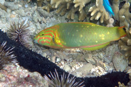 Image of Green moon wrasse