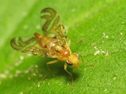 Image of Sunflower Maggot