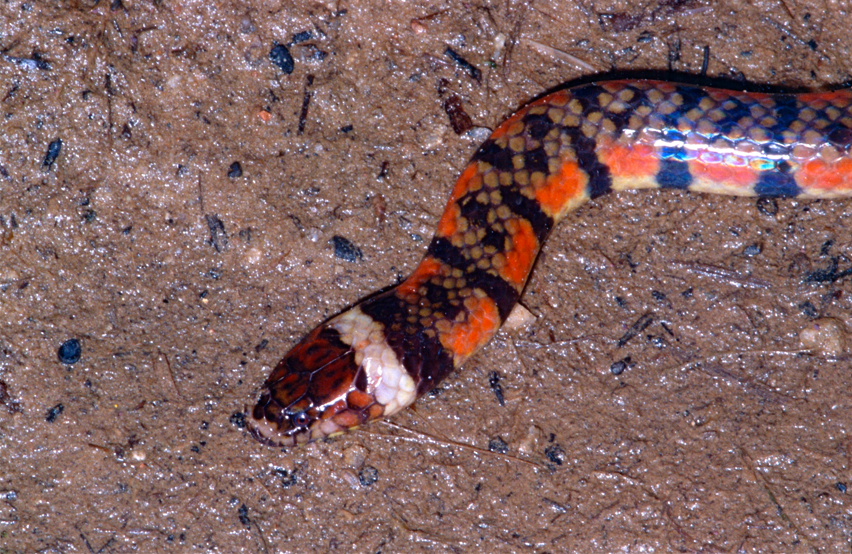 Image of Triangle Water Snake