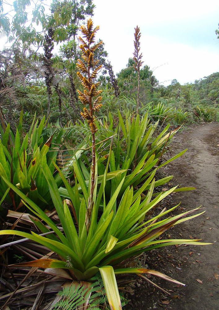 Image of <i>Guzmania diffusa</i> L. B. Sm.