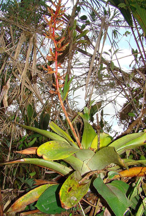 Image of <i>Guzmania undulatobracteata</i> (Rauh) Rauh