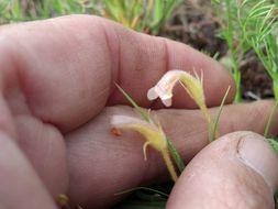 Image of <i>Orobanche uniflora</i> var. <i>purpurea</i>