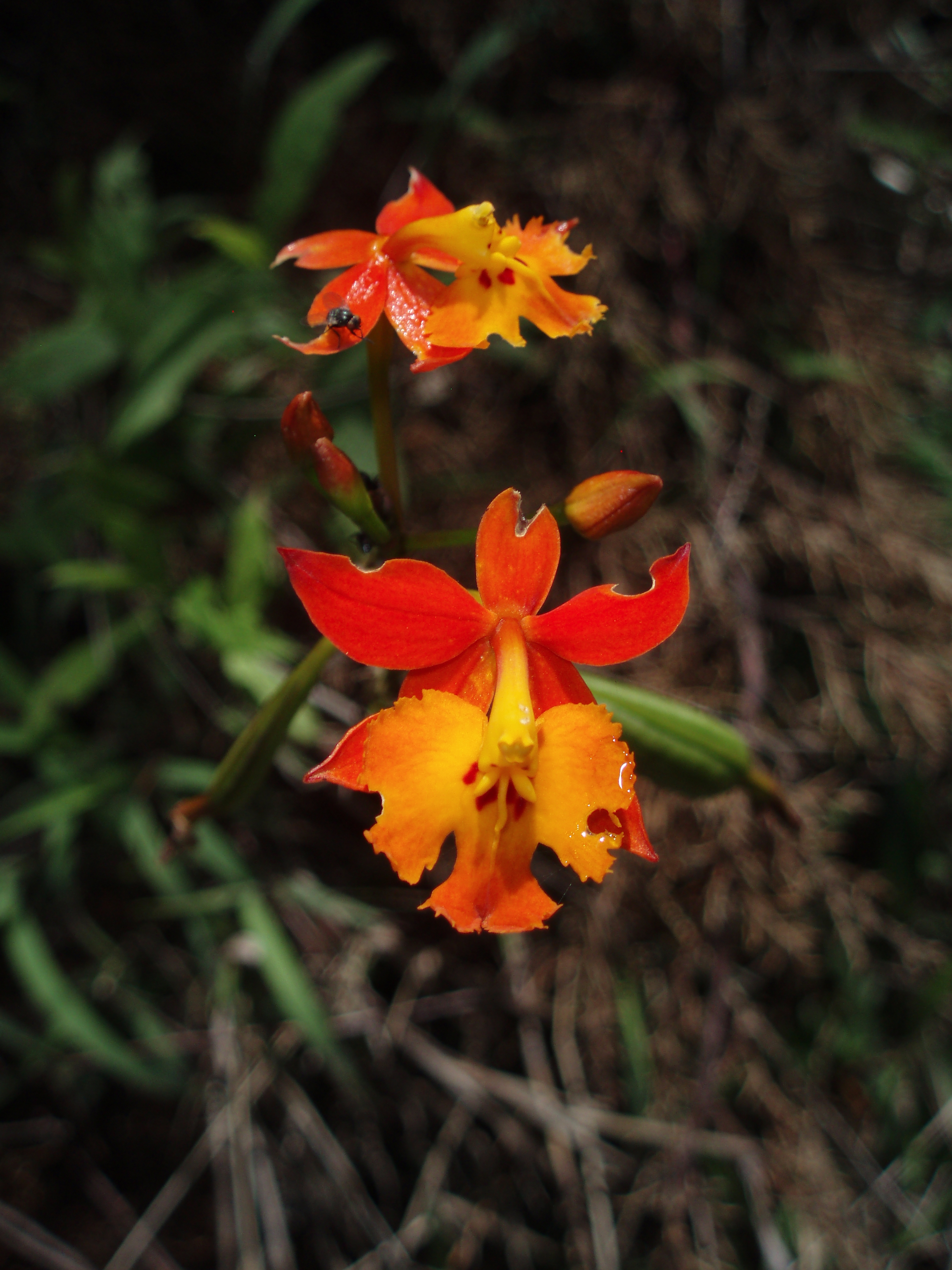 Image of fire star orchid