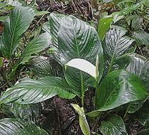 Image of <i>Spathiphyllum canniflolium</i>