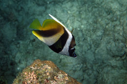 Image of Bannerfish