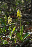 Image of Pale-flowered Orchid