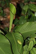 Image of Yellow-spotted tree frog