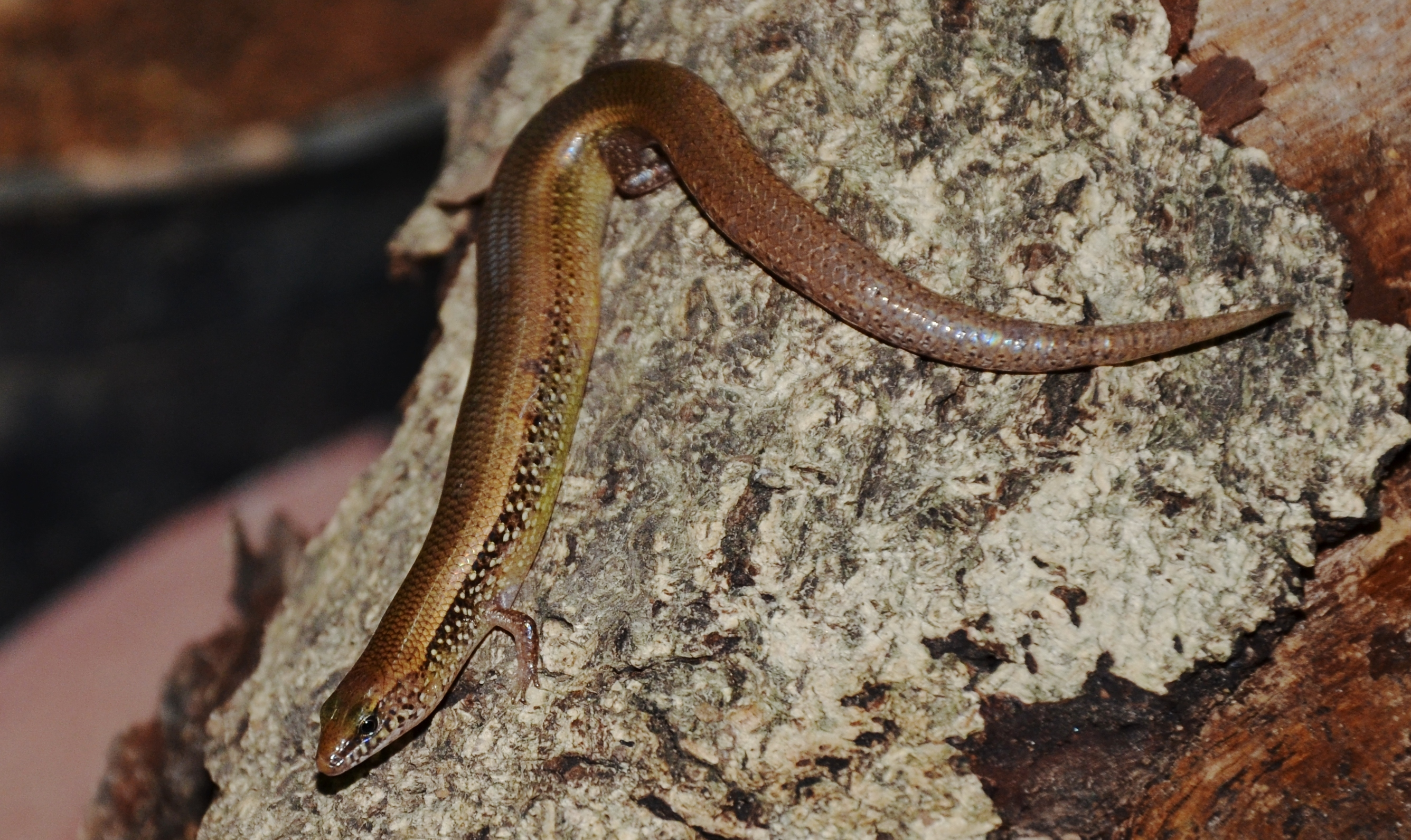 Image of White-spotted Supple Skink