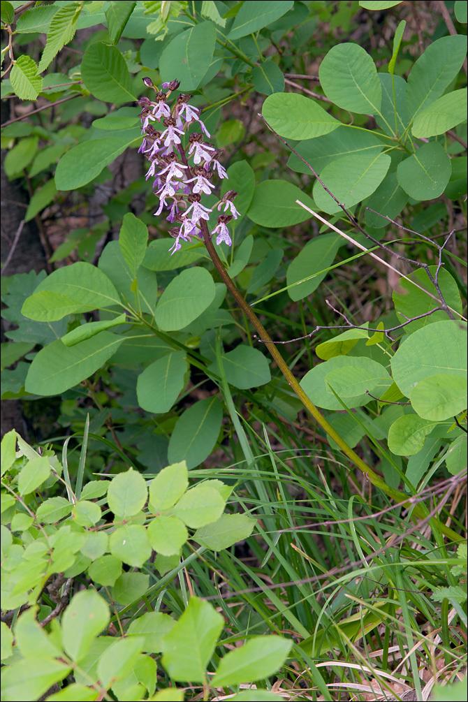 Image of <i>Orchis <i>purpurea</i></i> ssp. purpurea